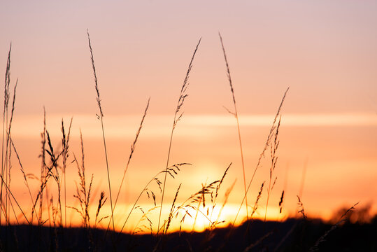 Weed grass silhouette at sunset in summer, pink sky background