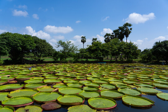 Victoria amazonica in the pond with giant green leaves cover the pond surface