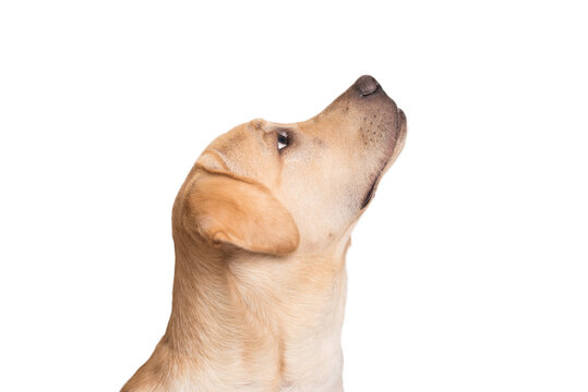Labrador retriever dog head isolated on white background