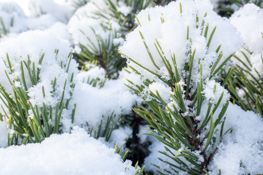 Winter frost on pine tree