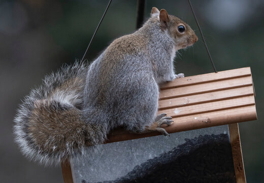 Squirrel climbs onto the roof of a wooden bird feeder