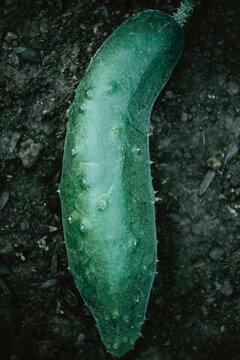 A green growing cucumber lying on the black garden soil.