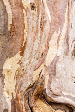 Detail of bark on a gum tree trunk