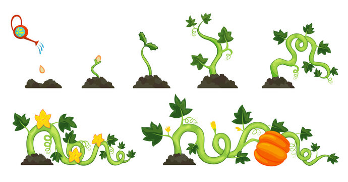 Life cycle of growth pumpkin plant on white background. Planting process from seeds, sprout and flowering to ripe vegetable. Vector illustration in flat design