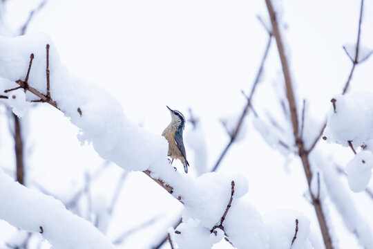 Red-breasted Nuthatch Perched on a Bare Tree Branch Covered with Snow