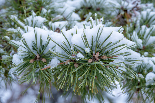 Closeup of an Evergreen Pine Tree with Needles and Small Pine Cones and Covered with Freshly Fallen Snow