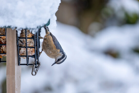 A Red-breasted Nuthatch Eating at the Suet Feeder in a Backyard Garden on a Snowy Day