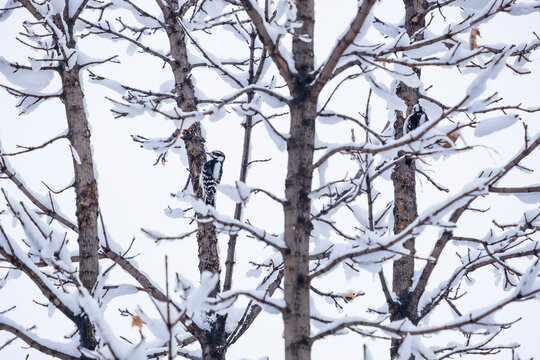 A Pair of Downy Woodpecker Looking for Insects on a Tree Covered with Snow on a Winter Day