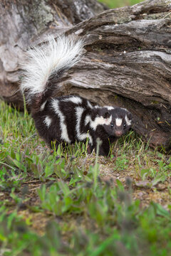 Eastern Spotted Skunk (Spilogale putorius) Turns in Front of Log Tail Up Summer