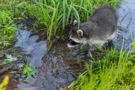 Raccoon (Procyon lotor) Walks Along in Small Stream of Water Summer