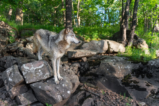 Grey Wolf (Canis lupus) Stands on Rocks At Edge of River Summer