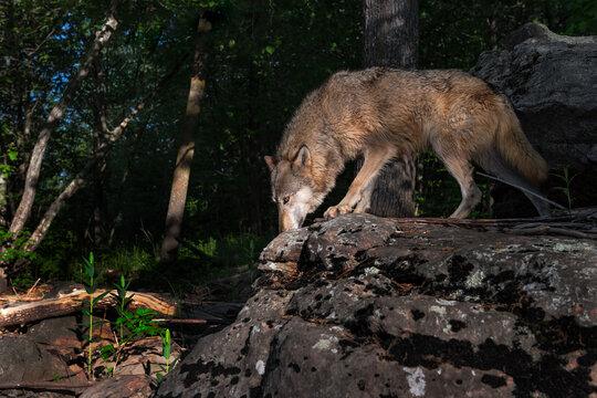 Grey Wolf (Canis lupus) Walks Atop Rock at Forest Edge Summer