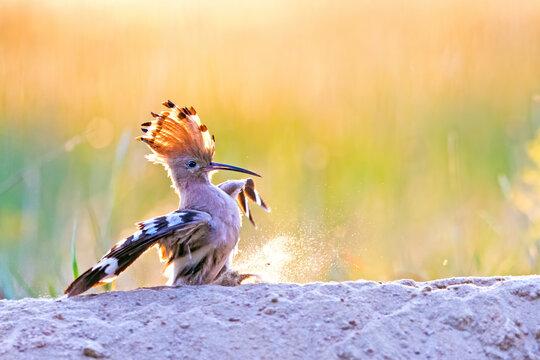 Wiedehopf landet auf einer Sanddüne