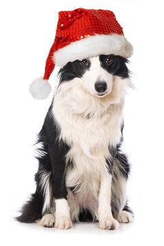 Border collie dog with santa hat isolated on white background