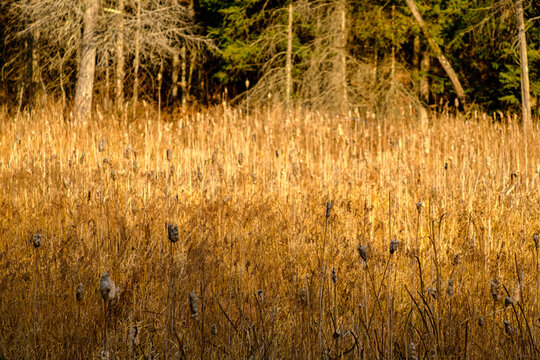 Cattails and reeds in marshlands