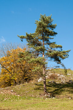 a pine tree growing on a stony soil