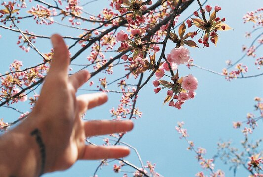 Cropped Image Of Hand Reaching Towards Flowers On Tree
