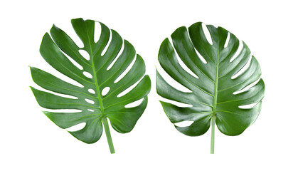 tropical jungle Monstera leaves on white background