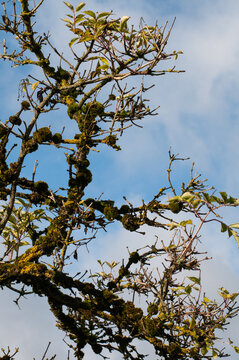 branches of a dead tree grown with moss and lichens