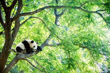 Adorable giant panda sleeping high on a huge green tree