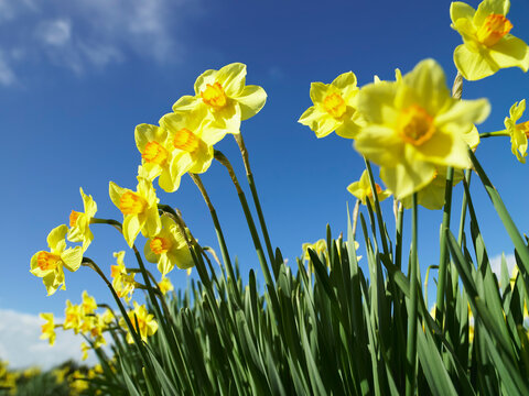 Row of yellow daffodils against blue sky