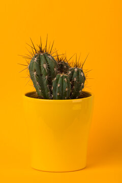 Small cactus in yellow flower pot on yellow background
