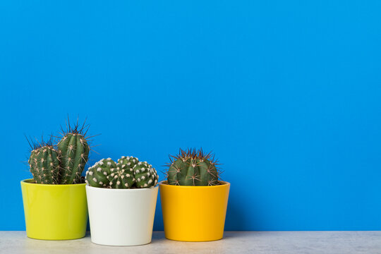 Three potted cactus plants with copy space on vibrant blue background