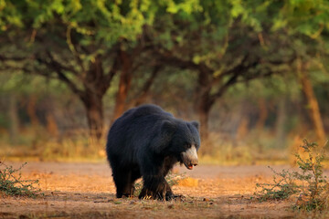 India wildlife. Sloth bear, Melursus ursinus, Ranthambore National Park, India. Wild Sloth bear in nature habitat, wildlife photo. Dangerous black animal in India. Cute Animal on the road.