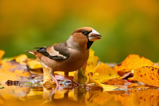 Autumn wildlfie. Hawfinch, Coccothraustes coccothraustes, brown songbird sitting in the orange yellow leave  the nature habitat. Cute bird near the woter in the fall forest, Germany in Europe.