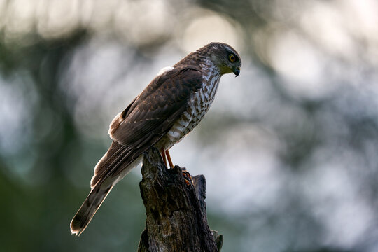 Sparrowhawk, Accipiter nisus, sitting green tree trunk in the forest, back light. Wildlife animal scene from nature. Hawk bird in the winter forest habitat, Poland