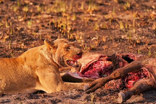 Lion kill buffalo, bloody detail from nature, Okavango delta, Botswana in Africa. Big African cat with catch carcass and flies on the meat. Face portrait with kill, wildlife scene from nature.