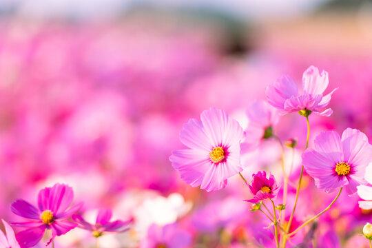 遠賀川河川敷に美しく咲く秋桜(福岡県)