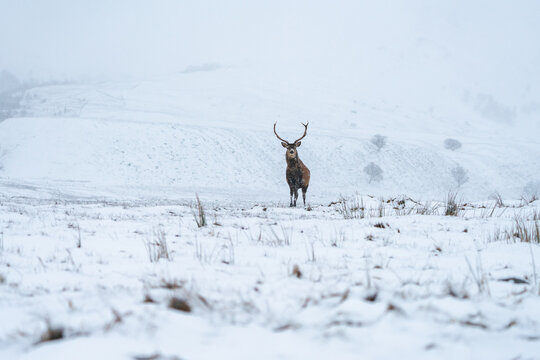 Scottish red deer (Cervus elaphus) in winter snow in Scotland - selective focus