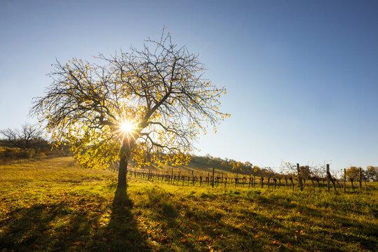 amazing sunrays on a autumn cherry tree in Burgenland