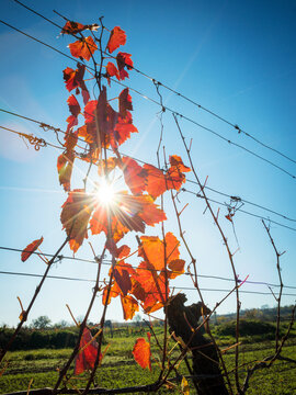 Red leaves at a autumn vineyard with sunrays
