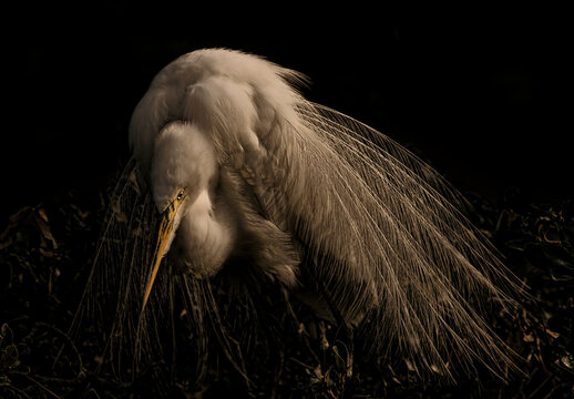 Golden Glow of a Great Egret with full plummage