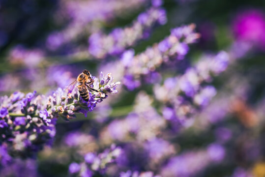 Close-upof a Honey Bee gathering nectar and spreading pollen on violet flowers of lavender.