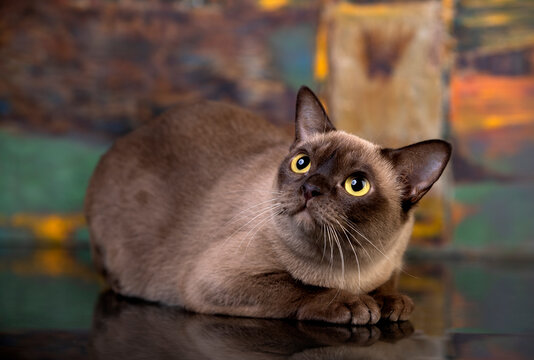 Burma cat; Young cat on color background.