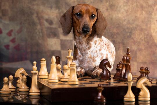 dachshund paybold plays chess, strategy, game, intelligence
