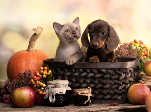 puppy dachshund brovn and tan color and kitten,  cat and dog