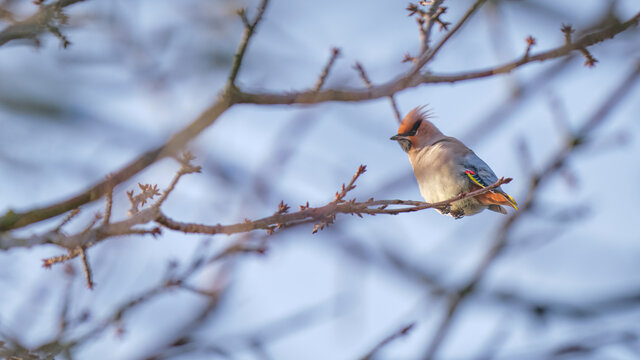 Waxwing in the Highlands in early winter perched in a tree looking at the camera