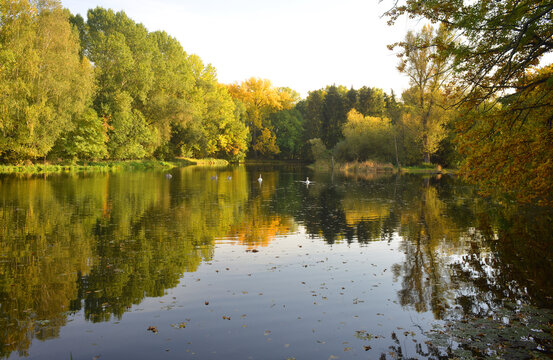 Beautiful fall landscape scene with colorful trees on a lake ans swans