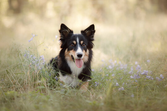 Dog in the forest. funny border collie in nature