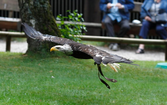Flying eagle in a park