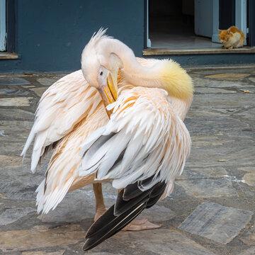 Der einsame Pelikan ist ein Wahrzeichen der griechischen Kykladeninsel Tinos