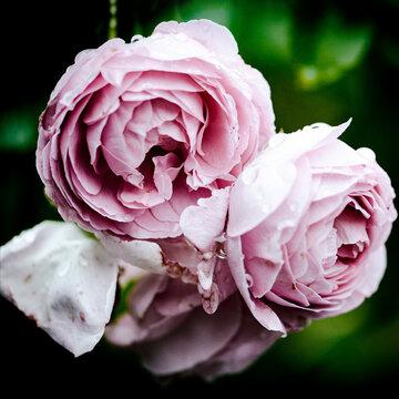 Rosen romantisch in pastel