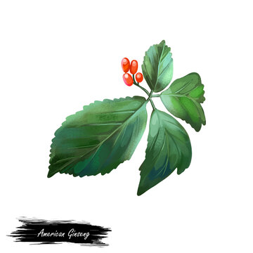 American Ginseng with green leaves and red fruit berry isolated digital art illustration. Panax Panacis quinquefolis herbaceous perennial plant of ivy, used as herb in traditional Chinese Medicine