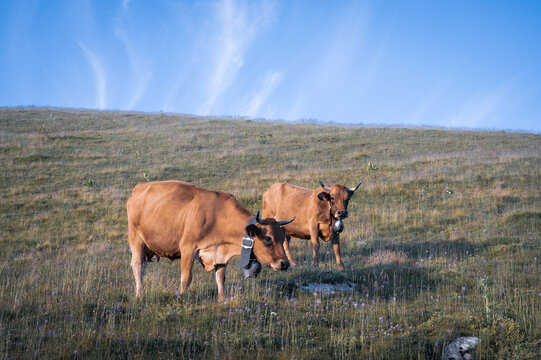 les vaches laitières du charmant som