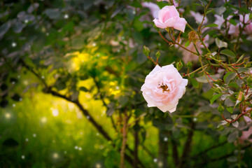 Wall Mural - Fantasy Pink Roses Flowers Bloom In Fabulous Paradise Garden, Mysterious Fairy Tale Summer Blooming Background With Floral Glade And Mystical Morning Sun Shine, Amazing Heaven Nature Scenic Landscape