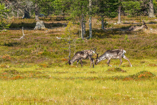 Reindeer at a forest edge in the summer